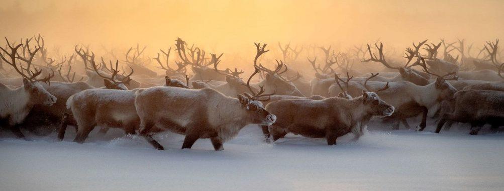 Rebaño de renos pasando el invierno.